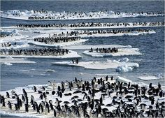 Adélie penguins on ice floes off the coast of Cape Crozier, Antarctica.