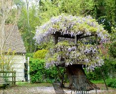 wisteria on fort :)