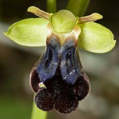 Bee-Orchid: Ophrys iricolor - Flickr - Photo Sharing!