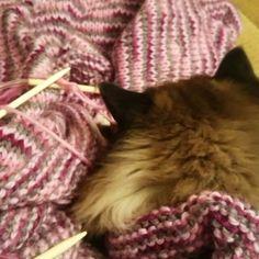 Det strikkes. #filosofistrikk prosjektet nærmer seg slutten.. Ka kan det bli? #strikke #ragdoll  #catsofine #knitting #minstrikkekurv #husflid