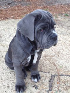 neapolitan mastiff puppy OH MY GOD THE ROLLS!!!!!!!!!