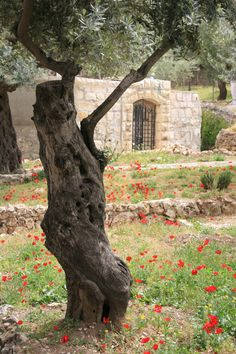 Garden of Gethsemane, Israel - Ancient Olive trees
