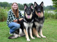 Shiloh Shepherds, bigger than German Shepherds.....oh my gosh, these are gorgeous!