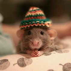 I would devote myself to knitting small hatties for very cute ratties.