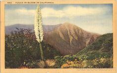 Yucca in Bloom in California Cactus & Desert Plants