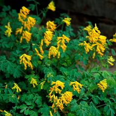 Our 17 Favorite Perennials That Thrive in Shady Gardens yellow corydalis perennials shade plants Shade Flowers Perennial, Perrenial Flowers, Best Perennials For Shade, Flowering Shade Plants, Shade Garden Plants, Tall Plants, Flowers Perennials, Foliage Plants, Shaded Garden