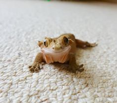 The Bearded Dragon Is The Coolest Reptile In The World Cute Lizard, Cute Gecko, Cute Reptiles, Reptiles And Amphibians, Cute Creatures, Beautiful Creatures, Nature Animals, Animals And Pets, Baby Skunks