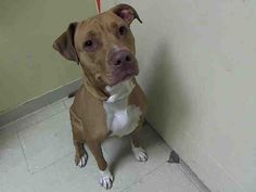 SAFE - 07/30/15 - DELLA aka BELLA - #A1045300 - Urgent Staten Island - FEMALE TAN AND WHITE PIT BULL MIX, 4 Yrs - OWNER SUR - EVALUATE, NO HOLD Reason PERS PROB Intake Date 07/24/15