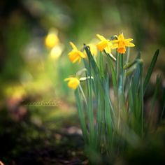 I totally missed the snowdrops and crocuses due to the cold and the amount of work. I hope I can catch them next year. Hope you like this image of my fi. Spring New, Happy Spring, Daffodils, Planters, Small Things, Flowers, Deviantart, Plant, Window Boxes