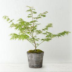 japanese maple leaf ;-)