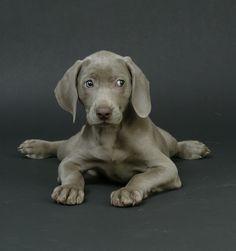 Weimeraner Puppy so cute