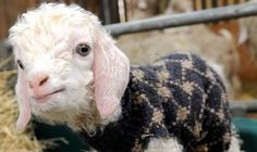 Goats: No kidding, here are some baby goats wearing old woolly jumpers