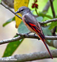 Rosy Minivet, Cuckooshrike family. India