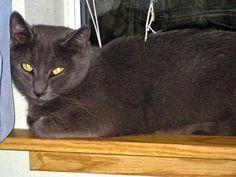 Petfinder  Adoptable | Cat | Domestic Short Hair-gray | Vancouver, WA | Chantilly