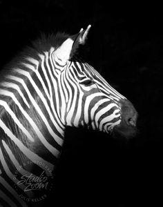 A Grants Zebra in black and white- stunning!