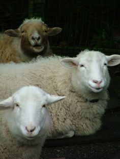 Not really interested in having sheep but they are pretty cute