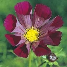 Pase Seeds - Cosmos Pied Piper Red Annual Seeds, $3.49 (http://www.paseseeds.com/cosmos-pied-piper-red-annual-seeds/)