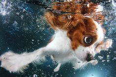 Underwater Puppies book by Seth Casteel featuring Monty, Cavalier King Charles Spaniel, 6 months - I LOVE THIS DUDE. His photos. Puppy Pictures, Cute Pictures, Amazing Pictures, Puppy Pics, Animal Pictures, Rei Charles, Cute Puppies, Cute Dogs, Underwater Dogs