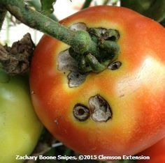 Tomato fruit worm (Helicoverpa zea) damage.