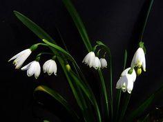 Snowdrop - January Birth Flower (USA)
