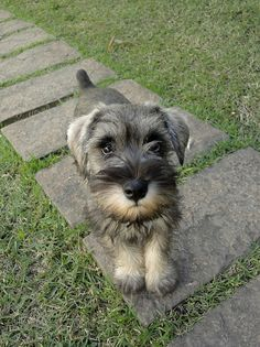 Laura by Marina Amante. Miniature Schnauzer Puppies, Schnauzer Puppy, I Love Dogs, Cute Dogs, Animals And Pets, Cute Animals, Cute Animal Pictures, Dogs And Puppies, Doggies
