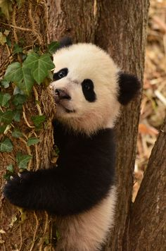 Information about types of pandas that exist in the world. Not only that, you can find fun facts about giant pandas and red pandas too. Types Of Pandas, Animals And Pets, Funny Animals, Wild Animals, Niedlicher Panda, Baby Panda Bears, Baby Pandas, Giant Pandas, Amor Animal