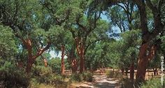 Image result for andalusia olive trees