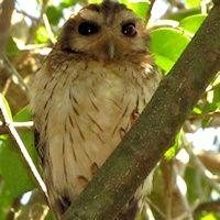 Cuban Bare-legged Owl - Gymnoglaux lawrencii - Information, Pictures