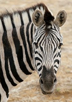 Zebra at the Colchester Zoo, Essex, England - photo by Sean Ddriscoll (Caesar2010), via Flickr Colchester Zoo, Essex England, Photography Photos, Animal Kingdom, Animals Beautiful, Food, Zebras, Savages, Cows