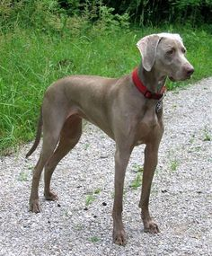 Weimaranar....a very smart dog...the one they use on sesame street.
