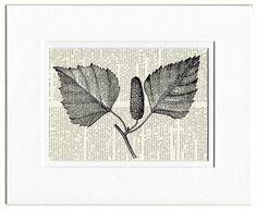 18oo's wood engraving catkin of birch print by FauxKiss on Etsy