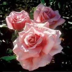 memorial day rose bush