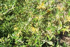 grevillea gold rush - Google Search