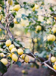 A lemon tree - so one can always have the key ingredient for Scarlet's favorite cake.
