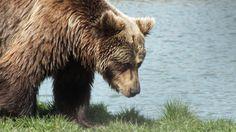 Medve  #bear #medve