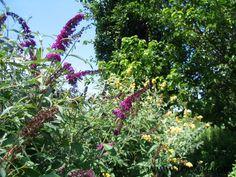 Buddleia 'Pink Delight' - 'Honeycomb'