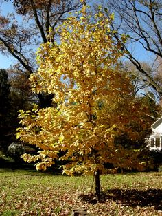 Many magnolias, including star magnolia, turn a lovely yellow in the fall, but native hybrid Magnolia x 'Yellow Bird' (named for its yellow flowers) is the most beautiful.