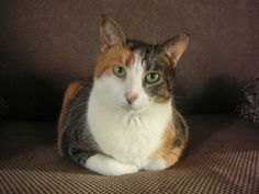 This pretty calico cat is named Ginny. She was found homeless wandering in Vira's yard. Vira gained Ginny's trust, fed her and provided medical care with the intention of finding Ginny a good home... but Ginny had other plans! Read the heartwarming story of how Ginny knew she had already found her forever home.