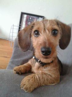 I want a wirehair doxie!! Sooo cute!!
