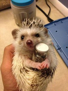 This is just like my hedgehog. He is adorable when he holds his jar like this hedgehog. This is just like my hedgehog. He is adorable when he holds his jar like this hedgehog. Cute Funny Animals, Cute Baby Animals, Cute Dogs, Funny Cats, So Cute Baby, Hedgehog Pet, Cute Hedgehog, Cute Animal Pictures, Funny Animal Pictures