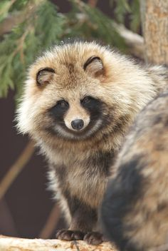 Japanese Raccoon Dog