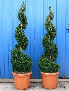 Spiral Evergreen Shrubs for Landscaping | Box spiral (buxus sempervirens) #LandscapeShrubs