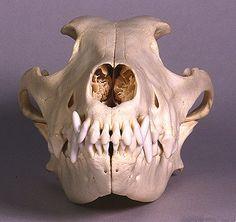 Greyhound Skull (add to my skull half sleeve)