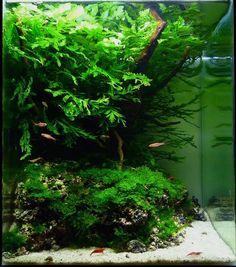 """Rainy Season"" ~ Bonetti Pascal (France) Tank size / Volume: 20 x 20 x 25cm / 10L Fertilization: Dennerle A1 daily NPKCO2 / Bubbles per second / CO2-System: Yes /0.5 / PressurizedLightning: 1 x dennerle,11W - 9 hours per daySubstrate: Dennerle, deponitmixPlants: Bolbitis heudelotii, Fissidens fontanus, Riccardia graeffeiFish & Invertebrates: Boraras brigittae, Neocaridina heteropoda var.redHardscape: Redmoor wood, stones, white sand   2nd PLACE Contest 2010 Aquatic Scapers ..."
