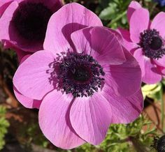 Pink Anemone Flower, Quality Prints and Posters , In Stock.