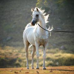 :: Mulawa Arabian Stud |