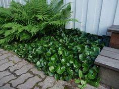 9 VÄXTER FÖR DEN SKUGGIGA NORRSIDAN | shape IT green | Det kan vara lite klurigt att hitta växter att plantera i det torra, skuggiga läget invid en husvägg i norrläge. Här har jag valt ut 9 växter som trivs i torrt och skuggigt läge för dig som ännu inte riktigt lyckats med skuggrabatten i norrläge.