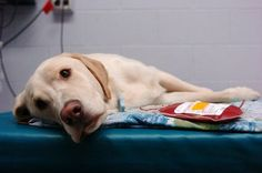 Dogs Donate Blood for Other Dogs