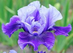 IB Iris germanica 'Bluesman' (Blyth, 2015)