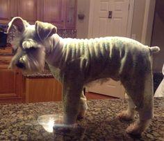 Schnauzer Puppy KODIAK :)